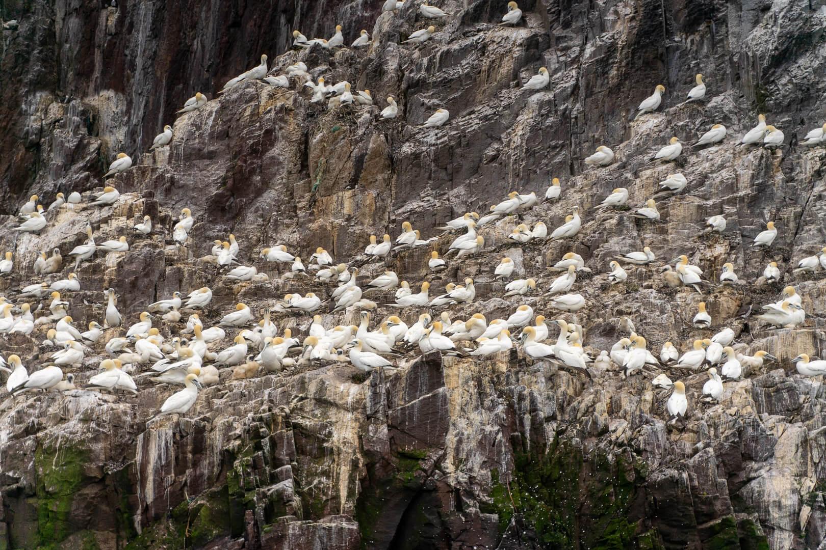 Birds on Bass Rock