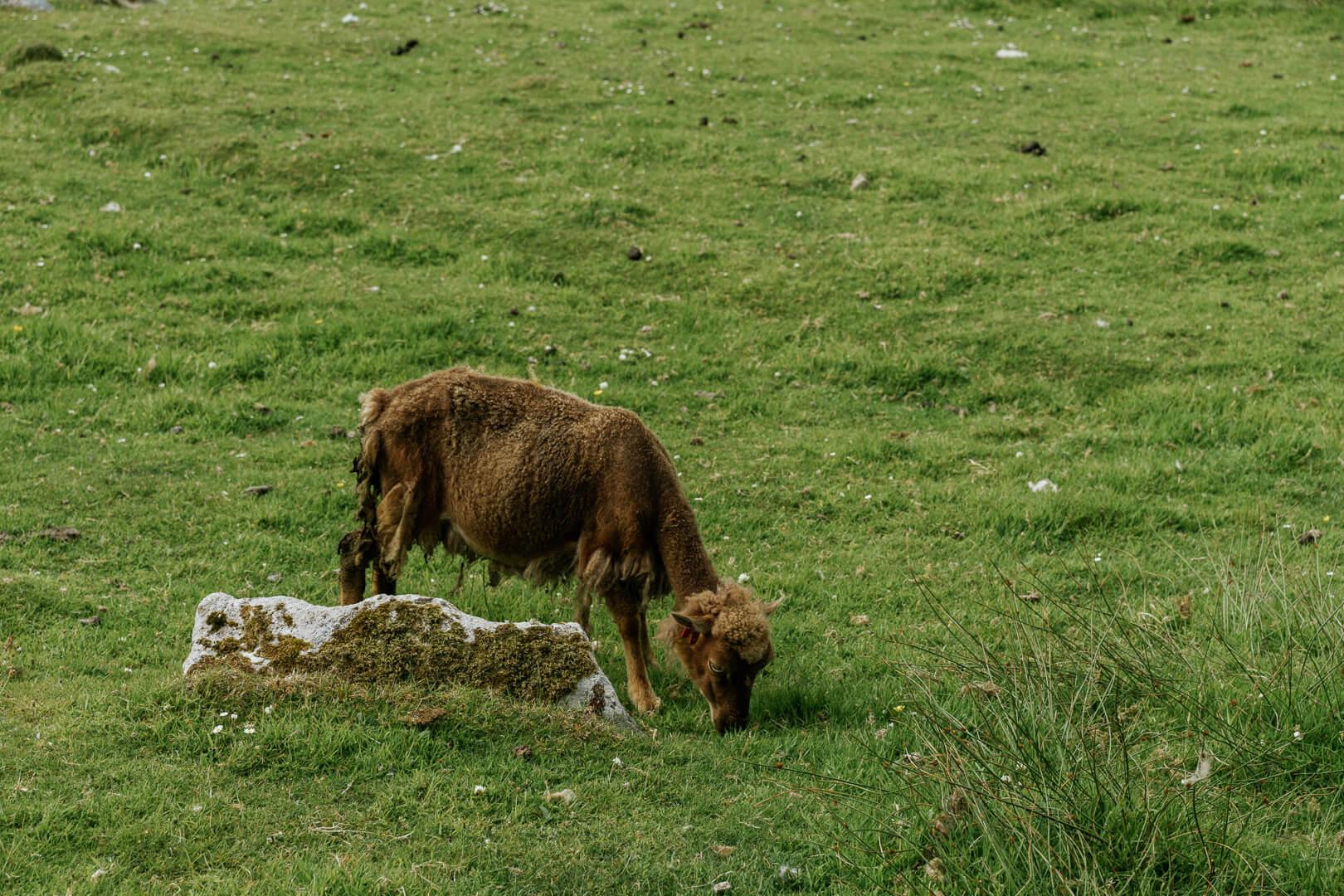 St Kilda Sheep